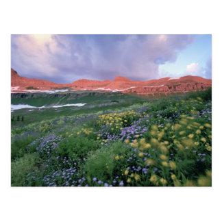 Purple Fleabane (erigeron peregrinus) and Yellow Postcard