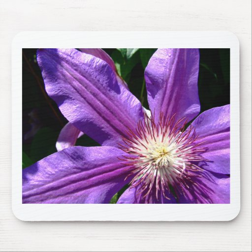 Purple Flower: Clematis Mouse Mats