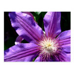 Purple Flower: Clematis Post Cards