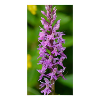 Purple flower spotted orchid protected species