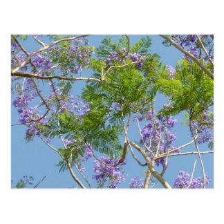 purple flowered jacaranda tree against blue sky postcard