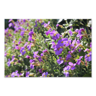 Purple flowers in bloom during Spring Photo Print