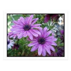 Purple Flowers Picture! Postcards