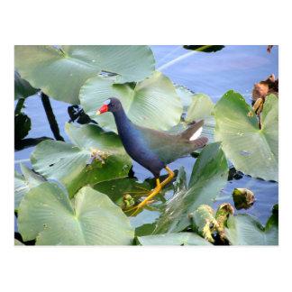 Purple Gallinule on Lily Pad Postcard