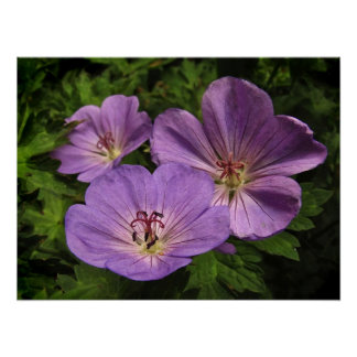 Purple Geranium Flowers Poster