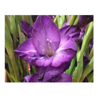 Purple Gladiolus Flower