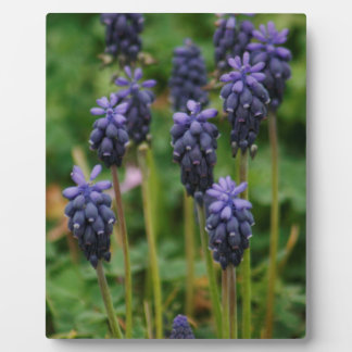 Purple Grape Hyacinth Wildflowers Display Plaques