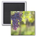 Purple grapevine 2 inch square magnet