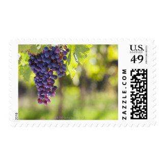 Purple grapevine postage stamp