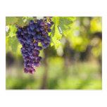Purple grapevine postcard
