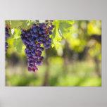 Purple grapevine poster