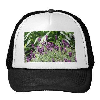 Purple & green Lavender flowers in bloom Trucker Hat