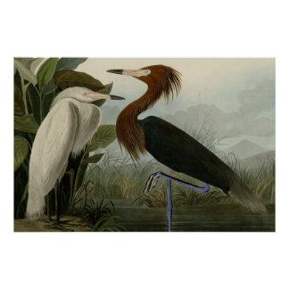 Purple Heron Poster