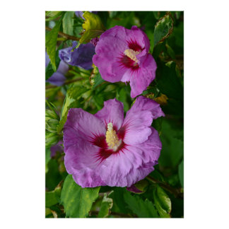 Purple hibiscus flowers poster