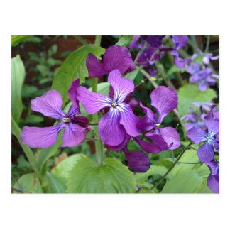 Purple Honesty Flower Postcard