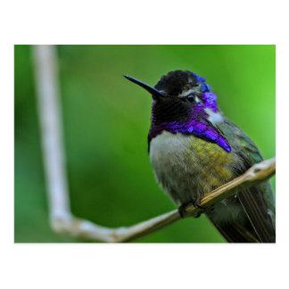 Purple Hummingbird Postcard
