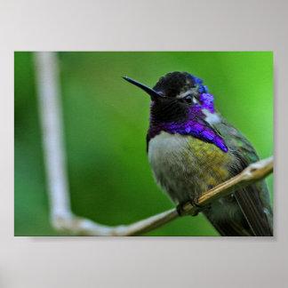 Purple Hummingbird Poster