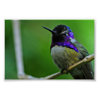 Purple Hummingbird Posters
