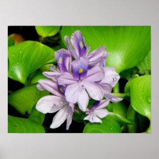 Purple Hyacinth Print