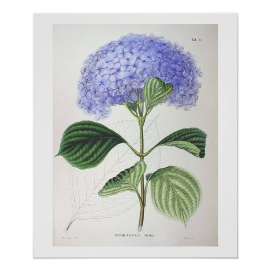Purple Hydrangea Botanical Drawing Poster Print Zazzle Com