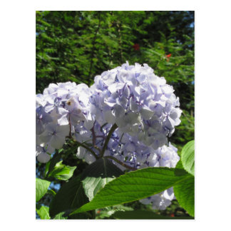 Purple Hydrangea flowers (Hydrangea macrophylla) Postcard