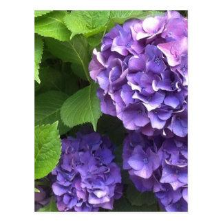 Purple Hydrangea Postcard