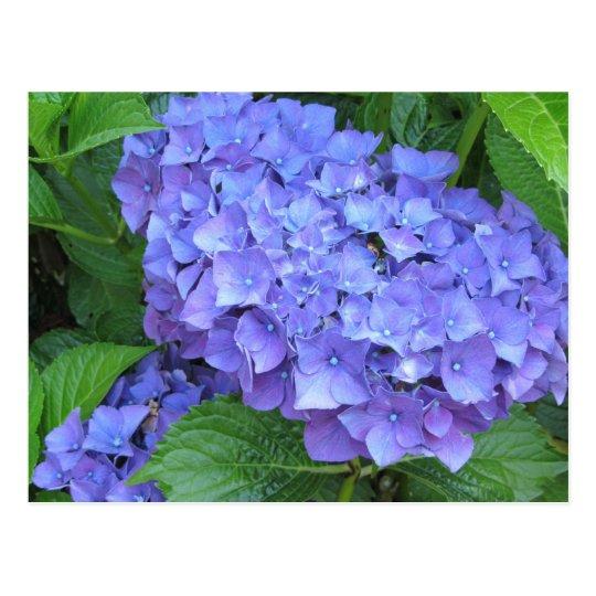 Purple Hydrangeas Postcard