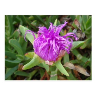 Purple Ice Plant Flower Postcard