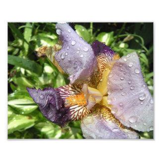 Purple Iris 2 Photo Art