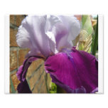 Purple Iris 6 Photo