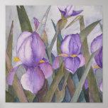 Purple iris blooms poster