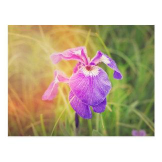Purple Iris in Sunshine Postcard