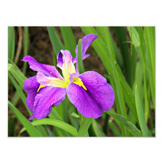 Purple Iris Photo Enlargement
