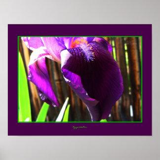 Purple Iris Royal Purple Plumes Photo Poster