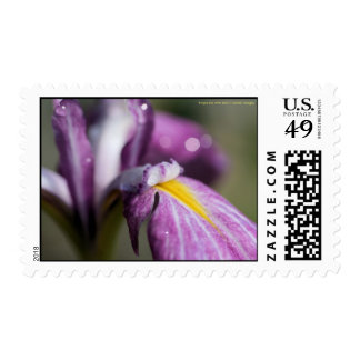 Purple Iris With Dew Stamps