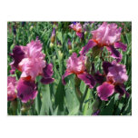 Purple Irises Beautiful Garden Flowers Postcard