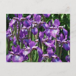 Purple Irises Flower Photo Postcard postcard
