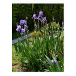 Purple Irises in Gainesville Park Post Card