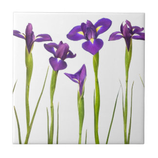 Purple irises isolated on a white background tile