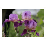 Purple Irises! Poster
