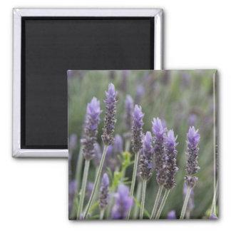Purple Lavendar Fridge Magnets