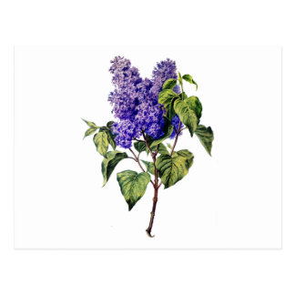 Purple Lavender Drawn From Nature Postcard