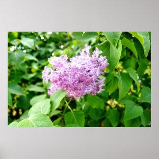 Purple lavender lavander lilac poster
