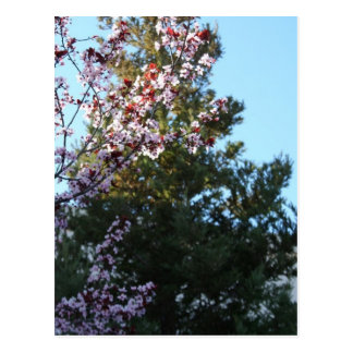 Purple-leaved Plum and Redwood Post Card