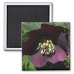 Purple Lenten Rose Easter Flower Magnet