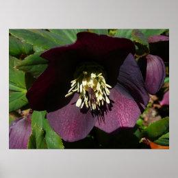 Purple Lenten Rose Easter Flower Poster