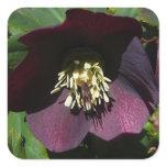 Purple Lenten Rose Easter Flower Square Sticker