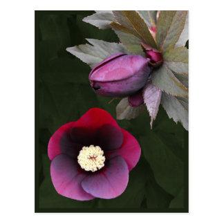 Purple Lenten Roses Postcard