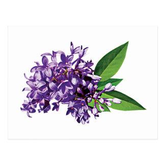 Purple Lilac Cluster Postcard