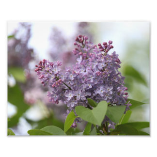 Purple Lilac Flower Print